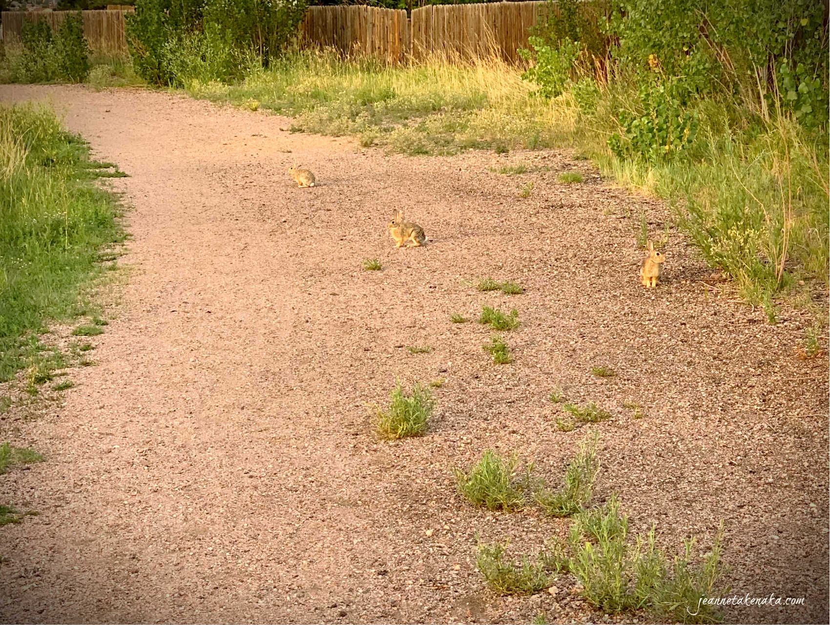 Three rabbits on a dirt trail deciding if they will flee
