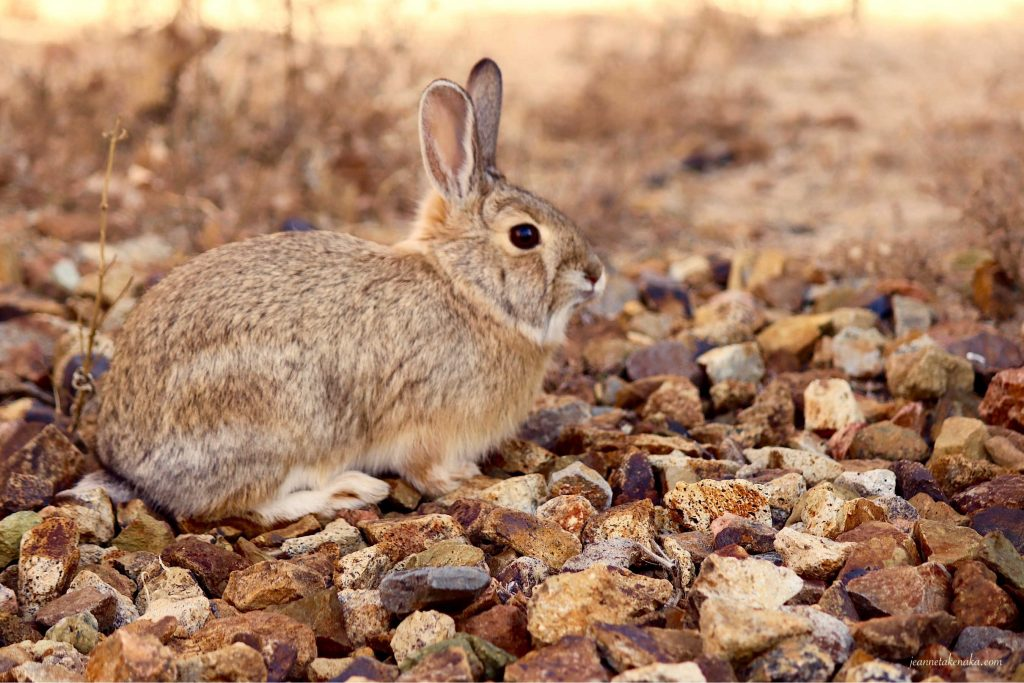 A rabbit resting and watching