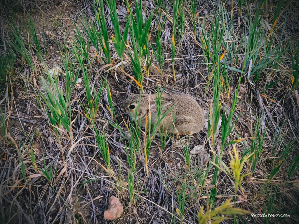 A rabbit hunkering in the grass, afraid