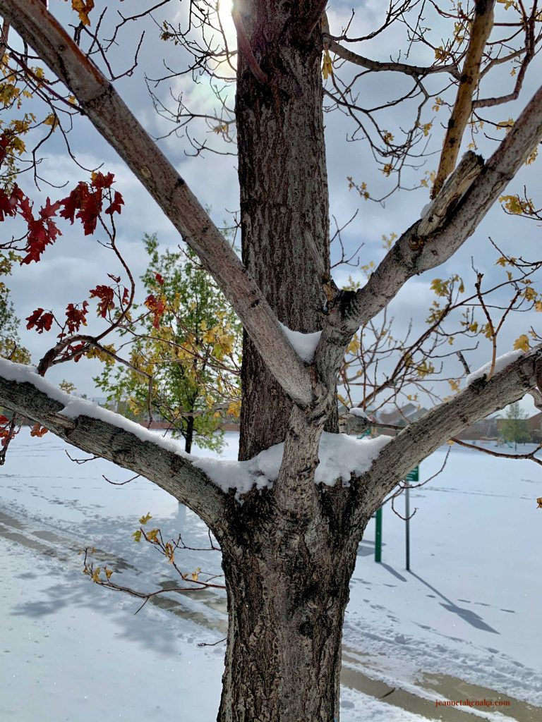 A picture of a tree with many branches shooting out from its trunk on a snowy day