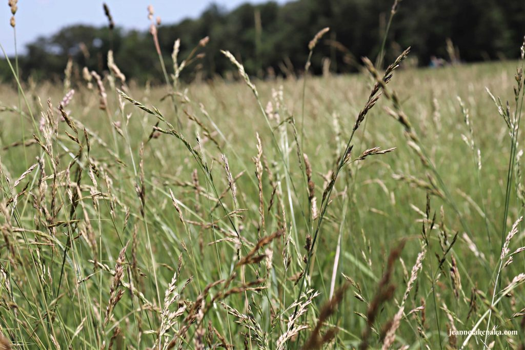 Wheat-like grass growing . . . like what Jacob's sons picked up in Egypt