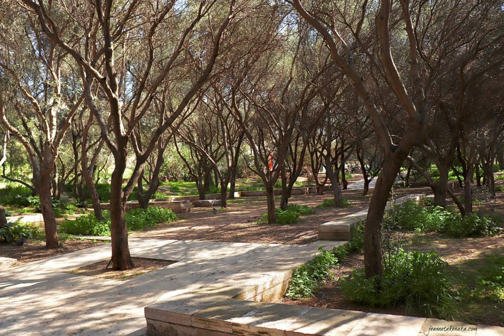A grove of olive trees