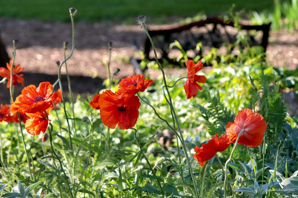 Poppies with a bench in the backdrop . . . a reminder that we can find peace in stressful times