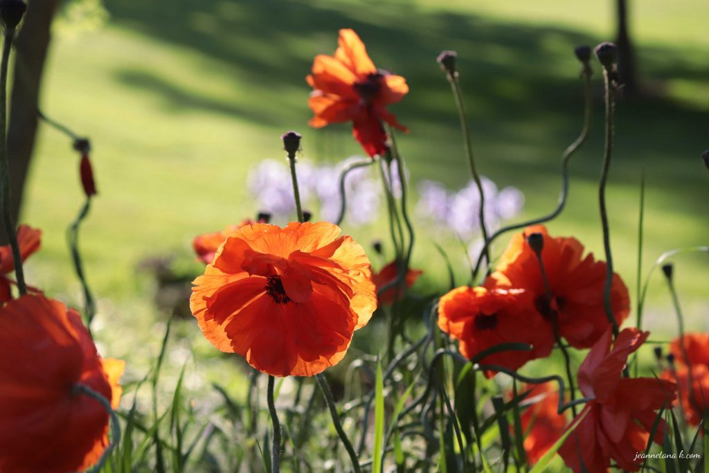 Poppies with a number of stems . . . a reminder that stressful times take many forms