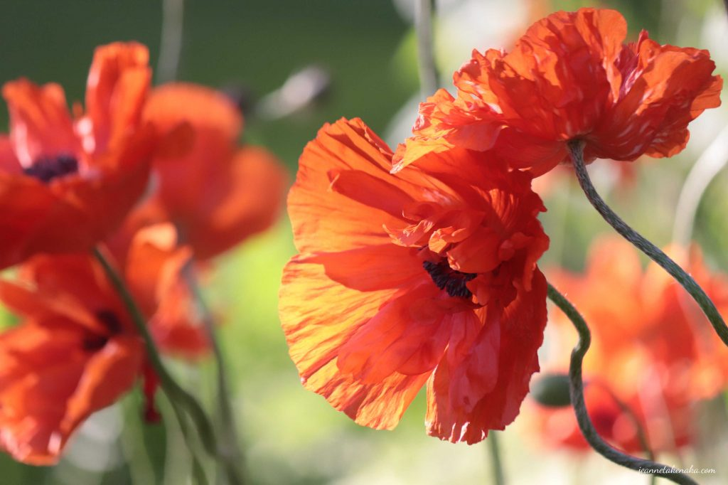 A poppy with it's petals pointed sunward