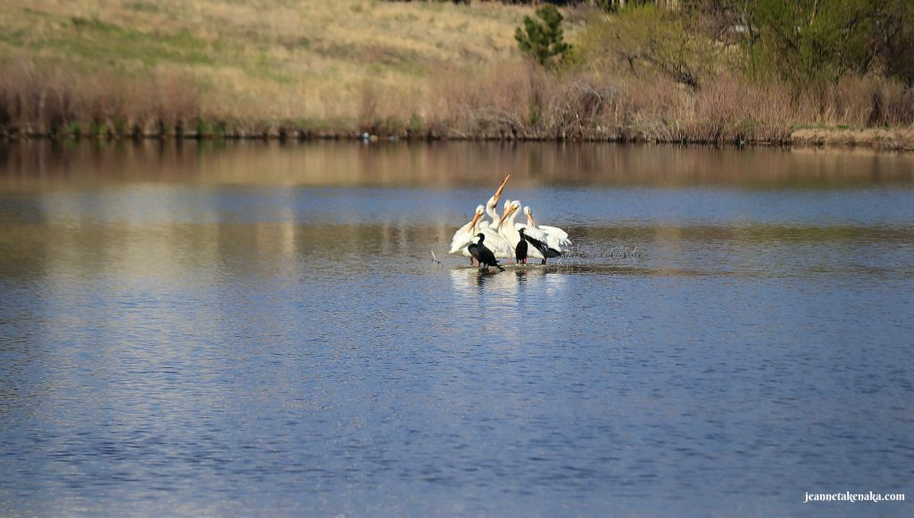 White pelicans and other birds doing what we should do when we're exhausted...finding time to relax
