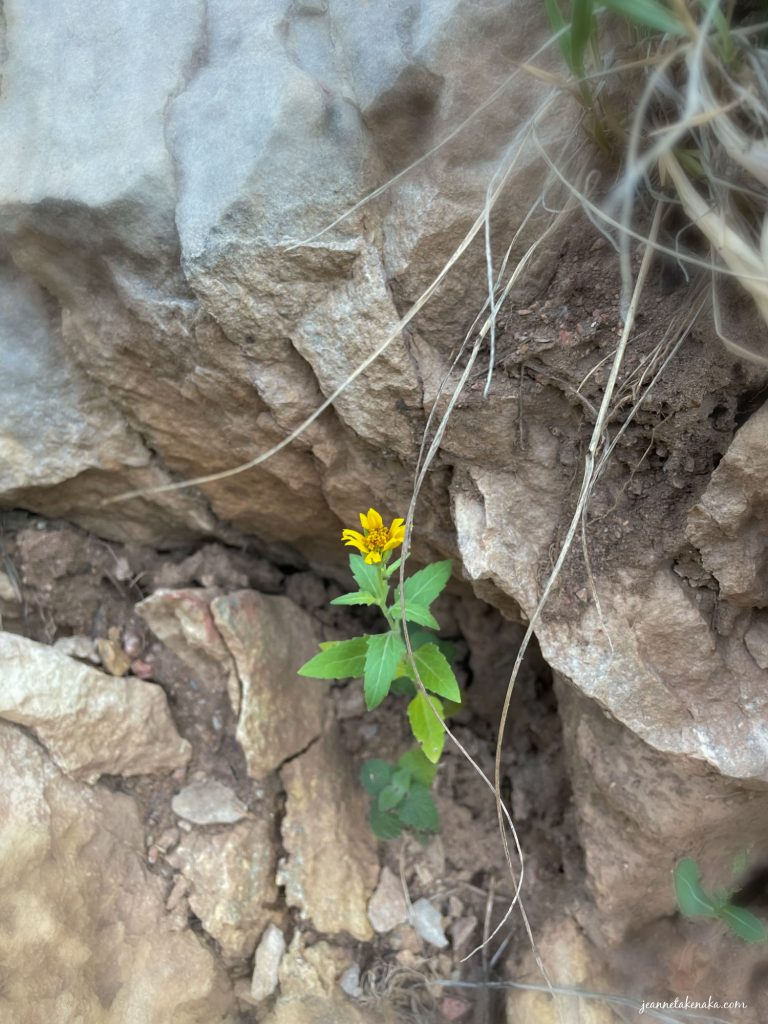A small yellow flower growing up among rocks