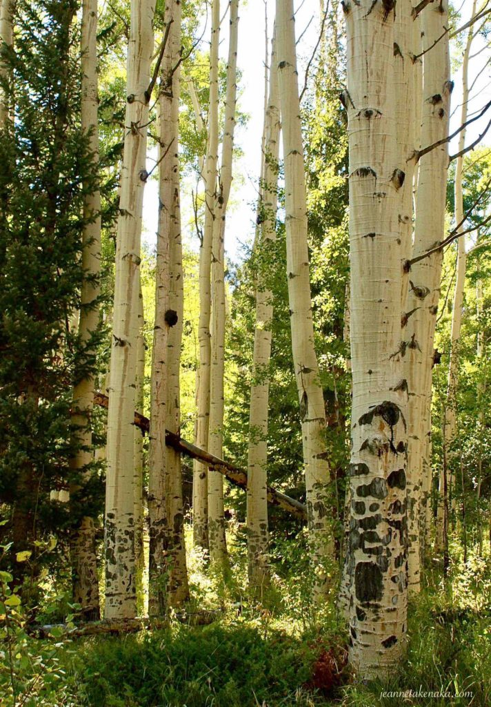 A wall of aspens in a forest